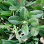 Mouseear Chickweed 2